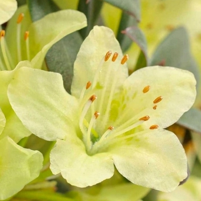 Rhododendron nain Princess Anne