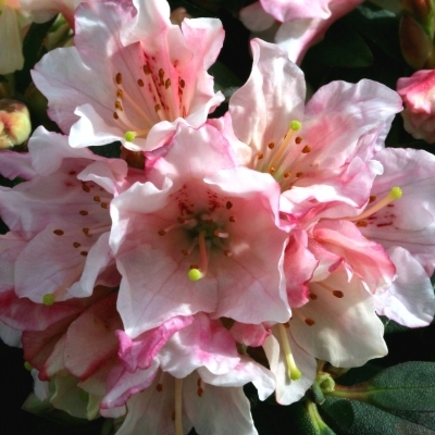Rhododendron nain Weebee