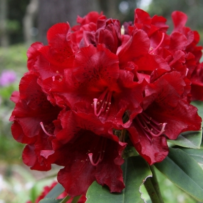 Rhododendron hybride Black Magic